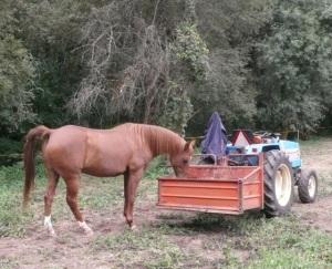 horse investigates tractor