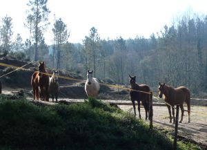 Early morning delegation of horses at my window