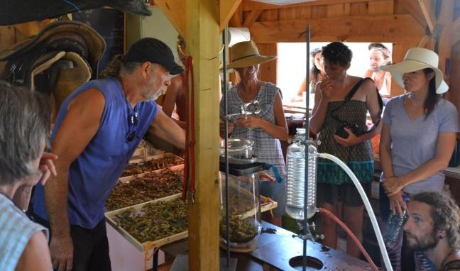 Distilling Helichrysum