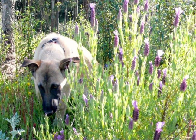 dog smells lavender